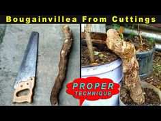 How to Grow a Bougainvillea Cuttings from Big Trunk Cuttings - YouTube Air Layering, Container Gardening, Vegetable Gardening, Carnivorous Plants, Container Flowers, Annual Plants, Bougainvillea, Fruit Garden, Cuttings