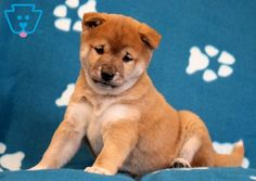 This Shiba Inu puppy is real cutie pie! He comes pre-spoiled and is ready to give lots of puppy kisses to his new family! Siberian Husky Puppies, Husky Puppy, Siberian Huskies, Corgi Puppies, Equine Photography, Animal Photography, Black Lab Puppies, German Shepherd Puppies, Shiba Inu