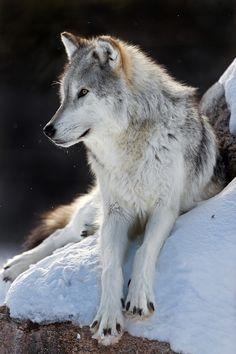 "wolverxne: "" Wolf ~ by: Sheltieboy """