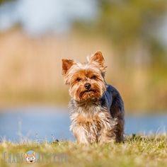 Es ist warm einfach nur warm... alles klebt... bäh! Ich wünsch mir nen Pool vor die Haustür!  Und ihr so? #sagtjetztnichtihrhabtnenpool  #Hund #Hundeliebe #yorkie #yorkshireterrier #terrier #yorkiegram #yorkiedeutschland #terrierliebe #hundefotos #hundetricks #germanblogger #hundeblog #blogger_de #instablogger_de #yorkieliebe #yorkiemama #hundejunge #yorkiesgermany #hundefotografie #yorkietricks #trickhund #germandog #hundealltag #canon #fellnase #naturliebe #europadogs #hundebesitzer…