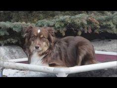 ▶ Austin (Mini Australian Shepherd) Dog Training demonstrational video - YouTube