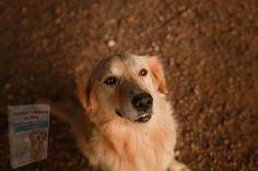 Pet Shop, Hd Photos, Mammals, Puppies, Pets, Golden Retrievers, Photography, Game, Dog Breeds
