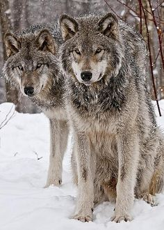 ~~Timber Wolves in Winter by Michael Cummings~~