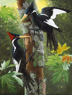 Ivory Billed Woodpecker- I have seen this bird in 2006 while attending Western Carolina University in NC. I tried reporting the sighting to the right people but they seemed to not care. This is a huge bird and it was so beautiful!