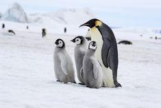 Emperor Penguins at Snow Hill Island, Antarctica. Georgia Islands, Penguin Pictures, Emperor Penguins, Photo Grouping, Cute Penguins, Antarctica, Birds, Snow, Pottery Ideas