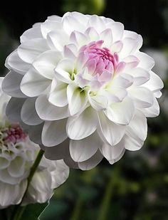 Dahlia 'Eveline' - Rose Cottage Plants Hopefully I'll also have this flowering in the late summer Mary Flowers, Flower Petals, Beautiful Flowers, White Dahlias, White Flowers, Dahlia Flowers, Good Day Sunshine, Bloom Where You Are Planted, Tree Seeds