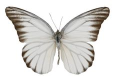 Appias hombroni  Indonesian White Butterfly