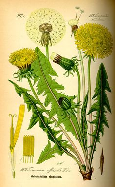 pernicious weed I just can't quite get out of my ❤️ Gemeiner Löwenzahn (Taraxacum officinale) Vintage Botanical Prints, Botanical Drawings, Botanical Art, Nature Illustration, Botanical Illustration, Illustration Botanique Vintage, Impressions Botaniques, Flora, Christian Art