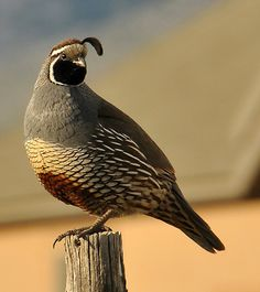 California Quail.  They were originally found mainly in the southwestern United States but they have been introduced into other areas including British Columbia, Hawaii, Chile, New Zealand, and to Norfolk Island and King Island in Australia.
