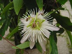 Passiflora Aafje