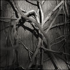 Knots and roots and shoots.  © Paul Salmon.
