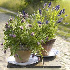 Lavendel-Deko - dufte Ideen für den Sommer - lavendel-terrakotta  Rezept