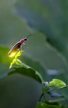 Firefly balancing on a leaf. Photo from Firefly Experience. All Nature, Amazing Nature, Science Nature, Beautiful Creatures, Animals Beautiful, Cute Animals, Nocturnal Animals, Photo Animaliere, Cool Bugs
