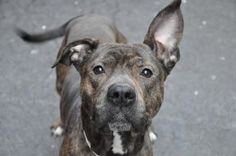 Manhattan Center    My name is LUIGI. My Animal ID # is A0925577.  I am a male br brindle and white pit bull mix. The shelter thinks I am about 2 years old.    I came in the shelter as a STRAY on 03/02/2012 from NY 11207, owner surrender reason stated was STRAY.    EUTH MEMO  No Euth Memo