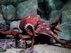 Giant Red Octopus   Flickr - Photo Sharing!