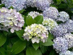 A hortenzia közkedvelt díszcserje, amely a nyár közepétől a nyár végéig hozza pompás virágait az előző évben kifejlődött vesszőin.