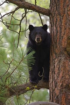 My first lengthy viewing of a bear came on Iron Mountain. He posed long enough for me to get several pictures. My second viewing of a bear on the AT and it took 461 miles to get that picture.