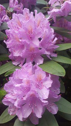JustinVo love flowers: Azalea