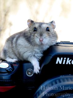 Houdini the Hamster on my Nikon D80.