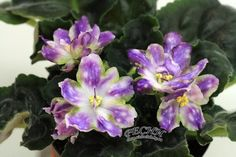 African Violet RS Palmira Plug Plant | eBay  I NEED THIS SO BAD!