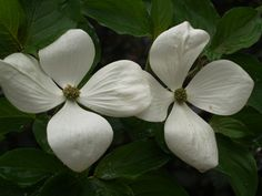 The flowers of the hybrid dogwood Venus are the size of salad plates. This easy to grow, vigorous dogwood has an upright habit.