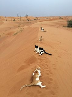 """We pulled into the driveway and saw three kitties in the yard, under the bushes, in the grass, and Stephen said, Here in the great Sahara..."""" and I was looking at this pic (he didn't see it though)."""