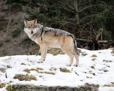 The proposed plan may not do much to save the wolves, according to environmentalists.