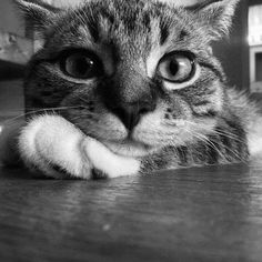 Cute Cats And Kittens, I Love Cats, Crazy Cats, Cool Cats, Animals And Pets, Funny Animals, Cute Animals, Beautiful Cats, Animals Beautiful