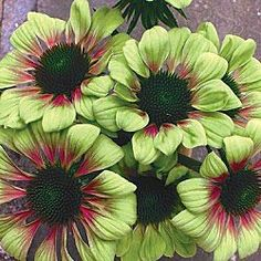 Green Envy coneflower. Zone 4-9. Full sun to part shade. 30-36 inches. I think this is available only as a plant (i.e., not as seed).