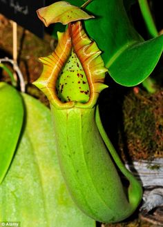 1000+ images about Carnivorous Plants on Pinterest ...