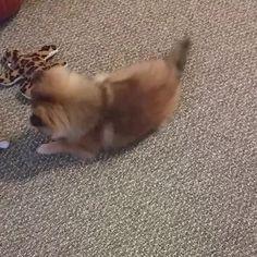 Toy or treat? You decide! #puppy #cute #pomeranian #fox #kitsunespiritfox #Kitsune #SoCute #decisions