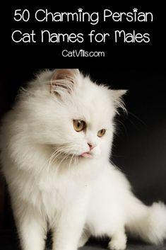 Top 100 Persian Cat Names For Male Female Kitties Catvills Cat Names Persian Cat Persian Cat White
