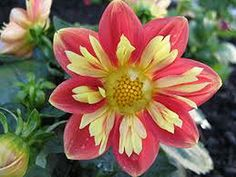 Unusual Flowers - The Best of the Best - Orange and yellow dahlia  http://thegardeningcook.com/unusual-flowers/