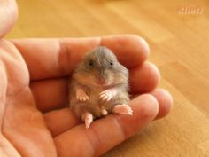 A Very Cute Baby Hamster