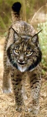 The Lynx effect: One woman's quest to save a species