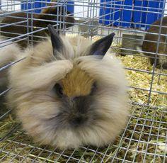 Lionhead rabbit 変な名前の変な生き物:ギャラリー « WIRED.jp