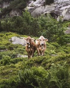 Switzerland is green and full of cows. The most beautiful ones! Me Against The World, Partners In Crime, Beautiful One, Cows, You And I, Switzerland, Safari, Green, Animals