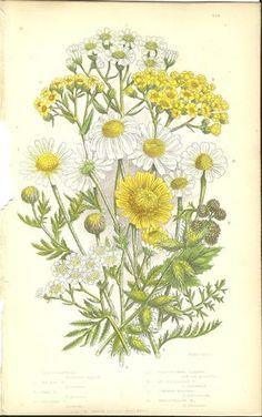 Antique Color Anne Pratt Flower Plant Print Botanical Plate 130 c.1850