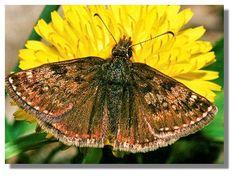 Butterflies of Scotland - Dingy Skipper Moth, Butterflies, Scotland, Butterfly, Bowties