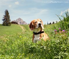 Beagle sitting in high grass on the mountain meadow Dog Quotes, Beagle, Photo Credit, Grass, Dogs, Nature, Animals, Pretty, Photos
