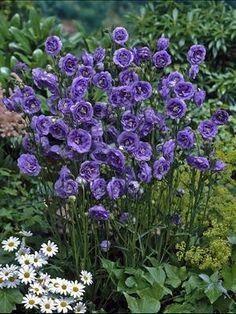 campanulapersicifolialabelle_pcocourtesyfutureplants