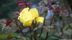 Yellow rose at Rose Garden, Ooty.