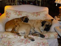 Mastiffs rest