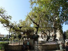 Hipokrates tree,Kos island,Greece