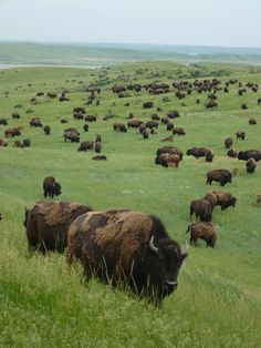 Buffalo roam as they used to do on the prairies.