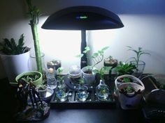 This is my other smaller Kitchen table garden. I'm growing lucky bamboos,  a kalanchoe plant/terrariums, pothos lightbulb terrariums in water, a dracaena *janet craig*, and a sweet potato vine all using my Aerogarden grow light. :)