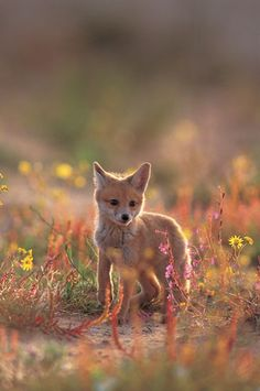 ruppell's sand fox | animal + wildlife photography