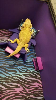 This is Sally's bedroom tank. Bearded Dragon Enclosure, Bearded Dragon Cage, Pet Dragon, Dinosaur Stuffed Animal, Bedroom, Pets, Dragons, Animals, Sally