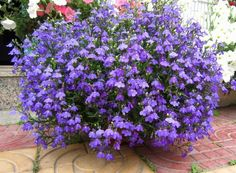 love color and airiness lobelia flower - Google Search