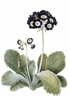 primula- omg I love them! maybe we could have dark navy/black primula, anemones and white peonies
